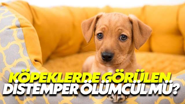 Köpeklerde Görülen Distemper Ölümcül Mü?