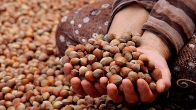 Fındık ihracatının yüzde 39'luk kısmı Trabzon'dan