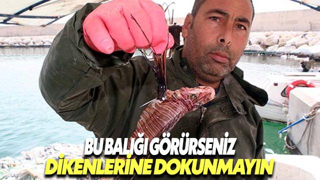 Akdeniz'de bu balığın dikenlerine dokunmayın