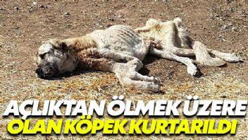 Açlıktan ölmek üzere olan köpek kurtarıldı
