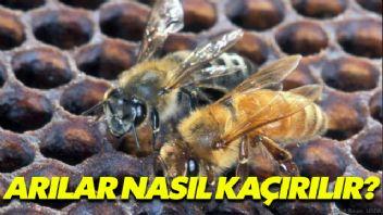 Arılar Nasıl Kaçırılır?