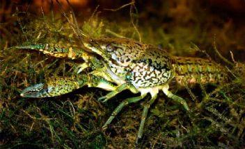 Mutant Kerevit Dünya Ekosistemlerini İstila Mı Ediyor?
