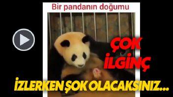 Bir Pandanın Doğum Anı