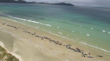Yeni Zelanda'da pilot balinaların toplu intiharı araştırılıyor