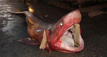 Mersinli balıkçılar köpekbalığı yakaladı